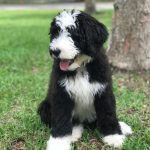 Mabel the Bernedoodle